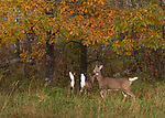 Alarmed white-tailed doe and her two fawns in an autumn field.