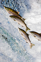 Sockeye Salmon jumping up waterfall to spawn Oncorhynchus nerka Katmai National Park Alaska, USA