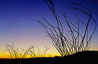 Ocotillo Cactus, Fouquieria splendens, plants at sunrise, Panther Junction, Big Bend National Park,Texas, USA