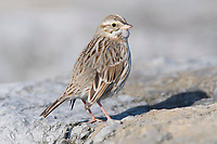 """Adult """"Ipswich"""" Savannah Sparrow (Passerculus sandwichensis) of the subspecies P. s. princeps. Ocean County, New Jersey. January."""