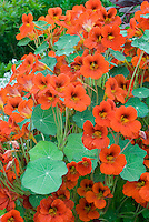 Nasturtium Empress of India in orange red flowers with leaves