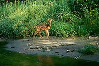 Deer fawn, Odocoileus virginianus, eating plants beside creek