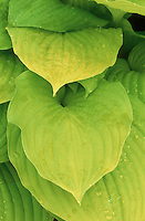 Foliage plant perennial gold leaves of Hosta Sum & Substance with dew water droplets