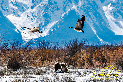 flying Gees and grizzly cub