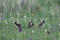 Northern Lapwing, Vanellus vanellus, young newly hatched, National Park Lake Neusiedl, Burgenland, Austria, April 2007