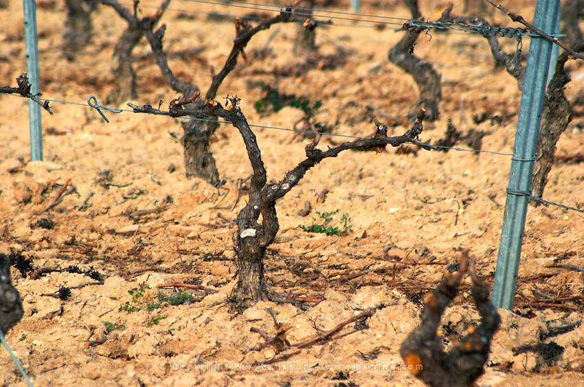 Fitou. Languedoc. Vines trained in Cordon royat pruning. Terroir soil. France. Europe. Vineyard.