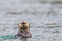 A curious sea otter pokes its head out of the water in Prince William Sound, southcentral, Alaska