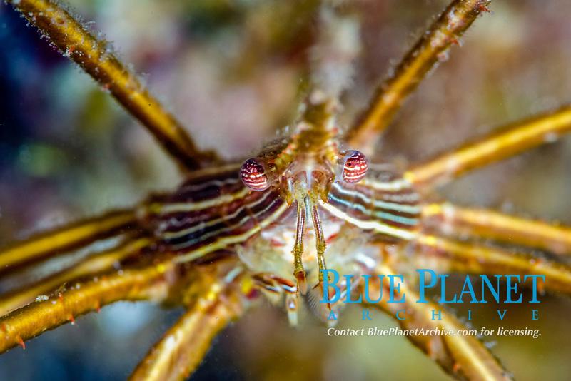 yellowline arrow crab, Stenorhynchus seticornis, note eyes, St. Lucia, Caribbean, Atlantic