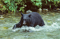 Black Bear looking for salmon in Pacific Northwest coastal stream.