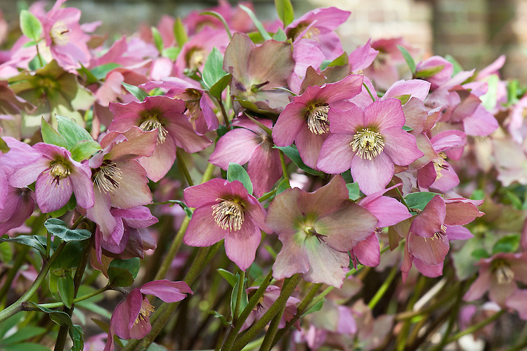 Hellebore (Helleborus 'Walberton's Rosemary'/'Walhero'), early February. A hybrid betweeen H. niger and H. x hybridus, raised by David Tristram of Walberton Nursery in Sussex and made commerically available in 2009. [Graham Rice, The Plantsman, December 2009]