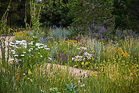 Front yard lawn substitute naturalistic meadow garden in Colorado with Wheat Grass, Mexican Hat,  Shasta Daisy flowers (left) and Phlomis russeliana (rt) ; design by Tom Peace