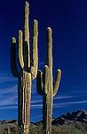 Saguaro cactus sunset Arizona State USA