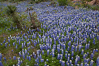Meadow of Bluebonnets with Cactus and Yucca trees, Texas Hill Country, Texas, USA.