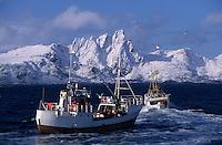 Europe/Norvège/Iles Lofoten : Pêche au skrei-cabillaud