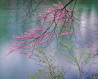 Redbud tree in flower along the shore of Long Pond; Kickapoo State Park, IL