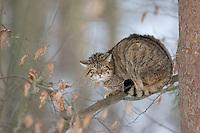 Wildkatze sitzt auf einem Ast, Baum, Wild-Katze, Katze, Wildkatzen, Felis silvestris, wild cat, Wildtier des Jahres 2018