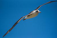 Laysan Albatross (Phoebastria immutabilis)-- Kauai. Photo by James R. Evans