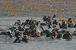 Sea Otters, Enhydra lutris nereis, Kyuquot Sound, West coast Vancouver Island, British Columbia, Canada, Newly re-established sea otter community..