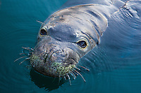 A Hawaiian monk seal swimming in Lahaina Harbor, Maui.