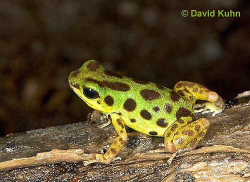 1014-07nn  Dendrobates pumilio ñ Strawberry Poison Arrow Frog ñ Strawberry Poison Dart Frog  © David Kuhn/Dwight Kuhn Photography