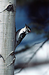 Hairy Woodpecker perched on an Aspen tree in Grand Teton National Park, Wyoming.