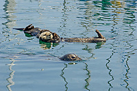 sea otter (southern), Enhydra lutris nereis, sea otter watching harbor seal (Phoca vitulina) swim by in beautifully colored water from reflections of boats, Monterey Bay National Marine Sanctuary harbor, California