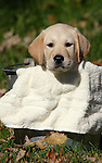 Yellow Labrador retriever puppy (AKC) looking over the edge of a pail.  Fall.  Birchwood WI