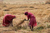 INDIA West Bengal, dalit women harvest rice / INDIEN Westbengalen , Dalit Frauen bei Reisernte