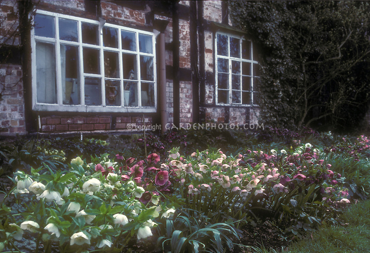 Helleborus x hybridus hellebore clumps of plants in mixed colors of white, red, pink, cream, in garden masses in front of old brick house with windows GR20978