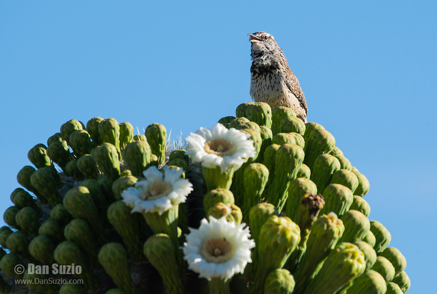 Cactus Wren, Campylorhynchus brunneicapillus, perches on a blooming Saguaro cactus, Carnegiea gigantea, in Saguaro National Park, Arizona