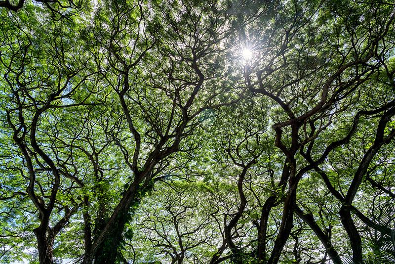 Sunburst through Monkypod trees. Oahu, Hawaii