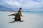 Galapagos Sea Lions (Zalophus wollebaecki), Galapagos Islands, Ecuador<br /> Canon EOS-3<br /> Canon EF 14mm lens<br /> October 1999