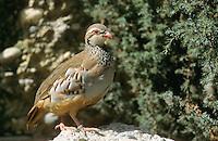 Rothuhn, Rot-Huhn, Alectoris rufa, red-legged partridge