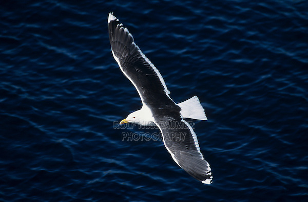 Great Black-backed Gull, Larus marinus, adult in flight, Hornoya Nature Reserve, Vardo, Norway, Europe