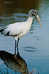Wood stork, Everglades National Park, Florida