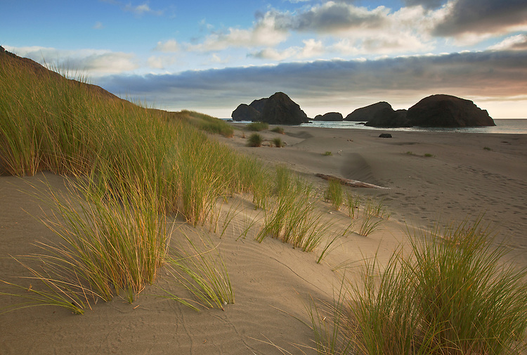 European beach grass lines the sandy shore at Pistol River State Park, Oregon, USA