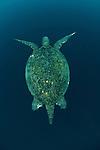 Green sea turtle (Chelonia mydas) Sipadan Island, Semporna, Sabah, Malaysia. 19 June 2009