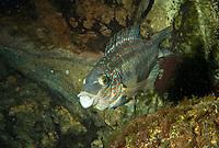 Goldmaid, Symphodus melops, Symphodus melops, corkwing wrasse, Lippfisch