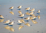 Group of sandpipers.