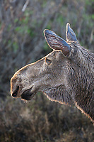 Cow moose portrait, Denali National Park, Alaska.