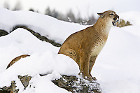 Puma snarling from the top of a snowy rock - CA