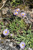 Alpen-Aster, Alpenaster, Aster alpinus, Alpine Aster, Blue Alpine Daisy, Aster des Alpes