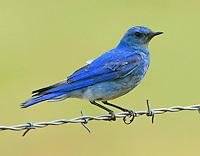 Adult male mountain bluebird