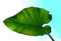 taro leaf reaching for the sky. Taro is a Hawaiian staple food. Its root is cooked and mashed to make poi (always served at local luau), and it has a spiritual - religious importance in Hawaiian culture, where taro is the original brother of all Haw
