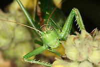 Grünes Heupferd, Portrait, Großes Heupferd, Großes Grünes Heupferd, Grüne Laubheuschrecke, Tettigonia viridissima, Great Green Bush-Cricket, Green Bush-Cricket