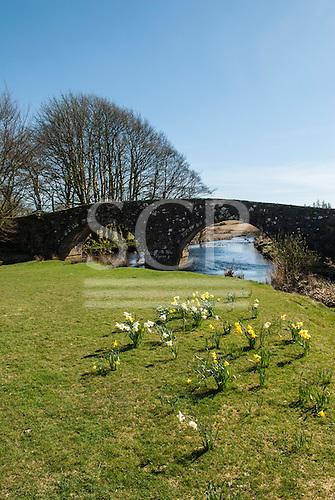 Three Bridges, Devon, England. Ancient bridge over stream with daffodils.