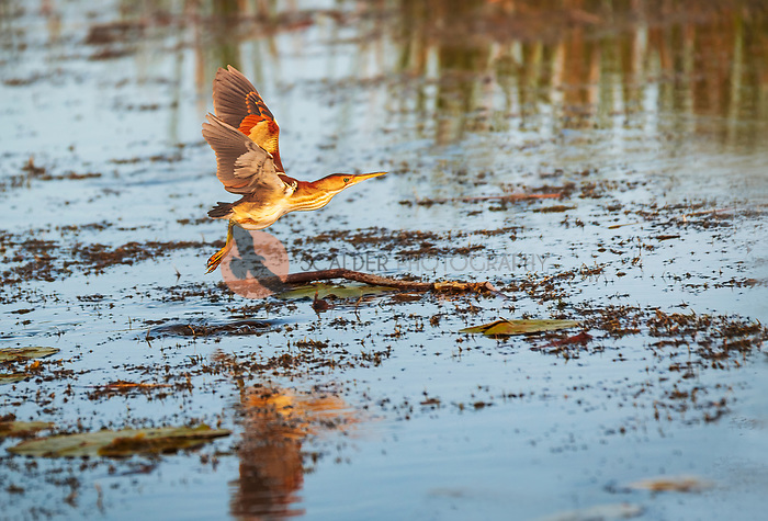 Least Bittern flying low over water in evening light