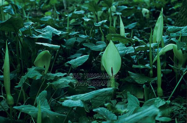 Worlebury, Arum maculatum, blooming, Oberaegeri, Switzerland, May 1995