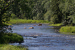 Whitej-tailed doe and fawns crossing the east fork of the Chippewa River in northern Wisconsin.