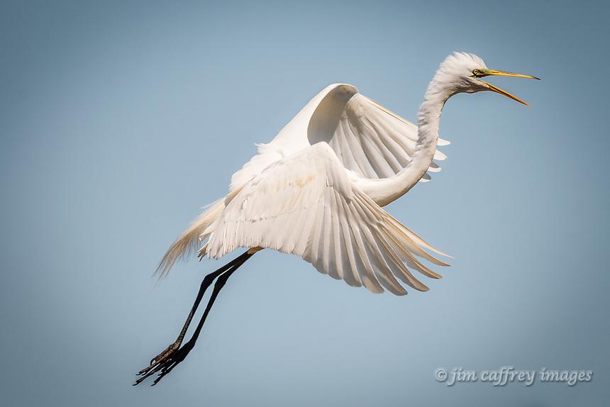 A Snowy Egret in flight at Smith Oaks Rookery near High Island, Texas